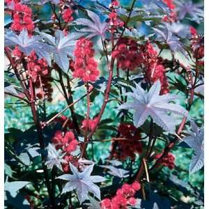 Davids Flower Castor Bean Carmencita Bright Red 10 Seeds
