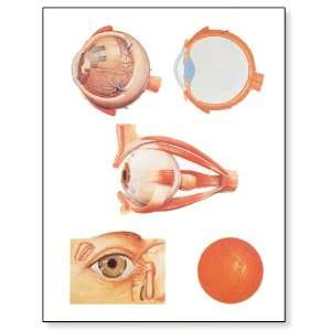 3B Scientific V2011M The Eye I Anatomy Chart with Wooden Rods