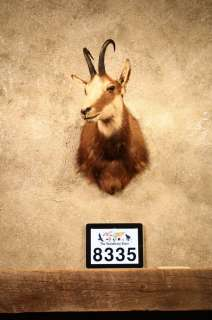 8335 Alpine Chamois Shoulder Taxidermy Mount RamSheepGoat