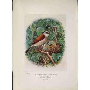 Red Backed Shrike Bird Egg Colour Antique Old Print Art